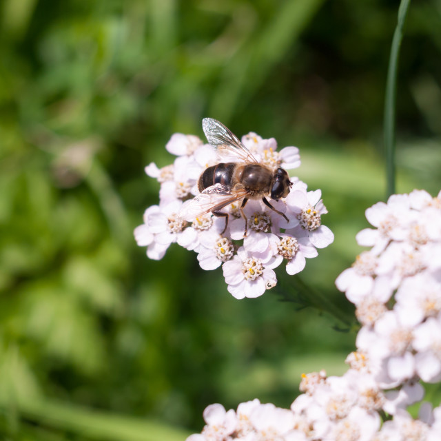 """""""small cute hover fly on yarrow outside"""" stock image"""