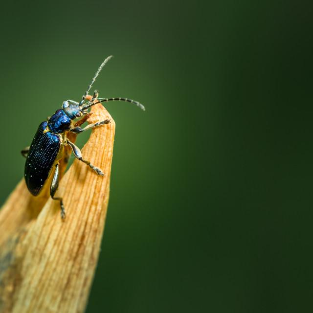 """""""metallic blue leaf beetle"""" stock image"""
