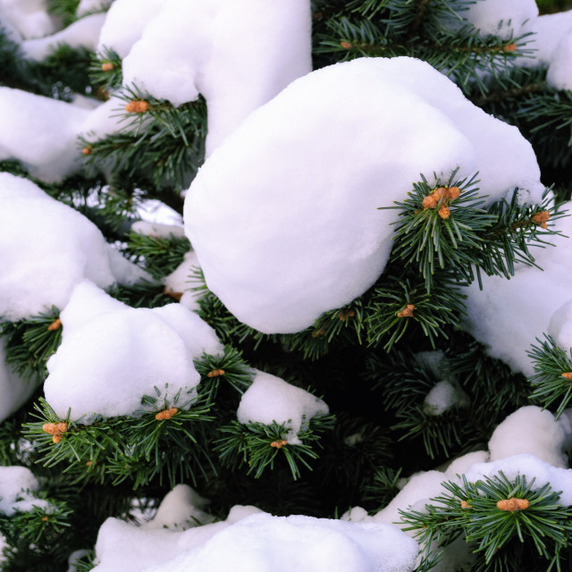 """Snow on Fir Twigs in Winter"" stock image"