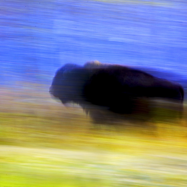 """Buffalo In Motion"" stock image"