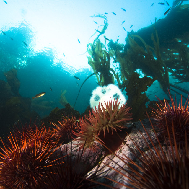 """Giant Red Sea Urchins, Plumose And Telia Sea Anemones, Vancouver Island,..."" stock image"