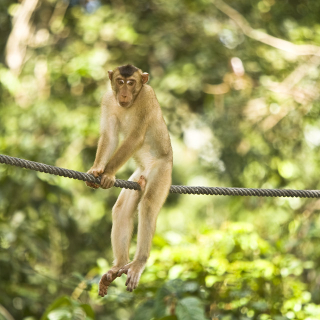 """Longtail Macaque"" stock image"