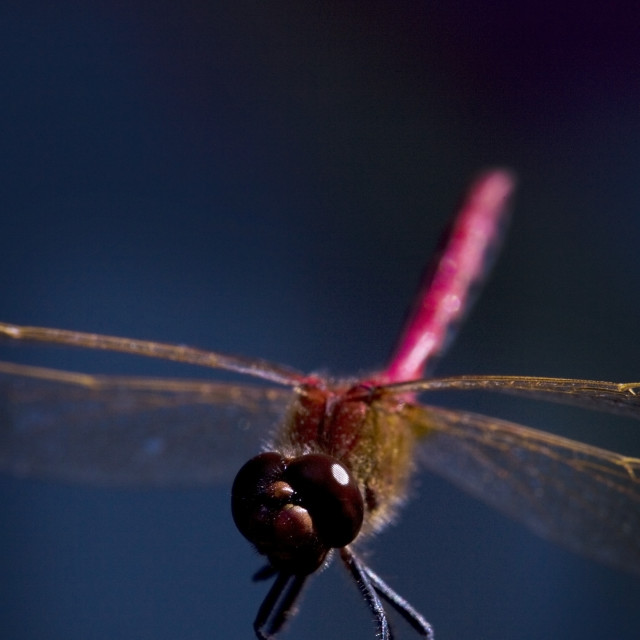 """""""Close Up Of A Dragonfly"""" stock image"""
