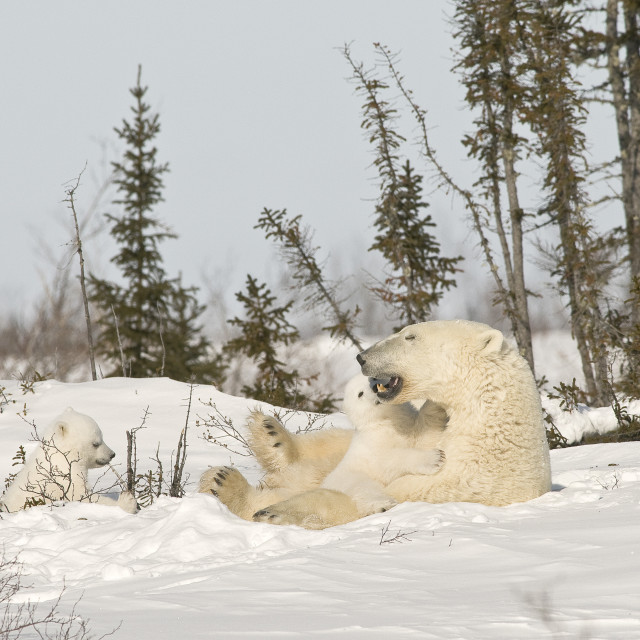 """Polar Bear With Cub In Snow"" stock image"