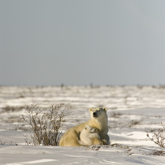 """Polar Bear With Cub, Watchee, Churchill, Canada"" stock image"