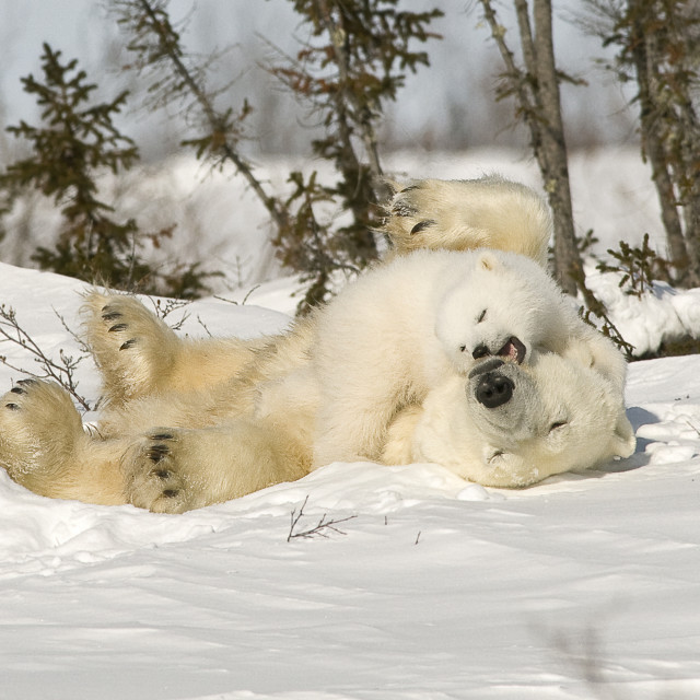 """Polar Bear Rolling With Cub In Snow, Watchee, Churchill, Canada"" stock image"