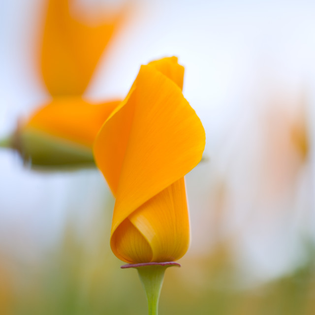 """""""Furled Poppies"""" stock image"""