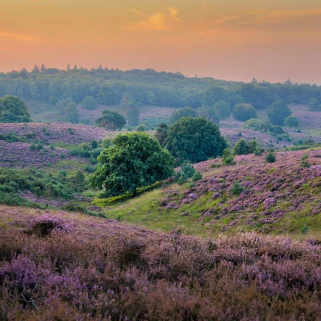 """Heather in Bloom"" stock image"