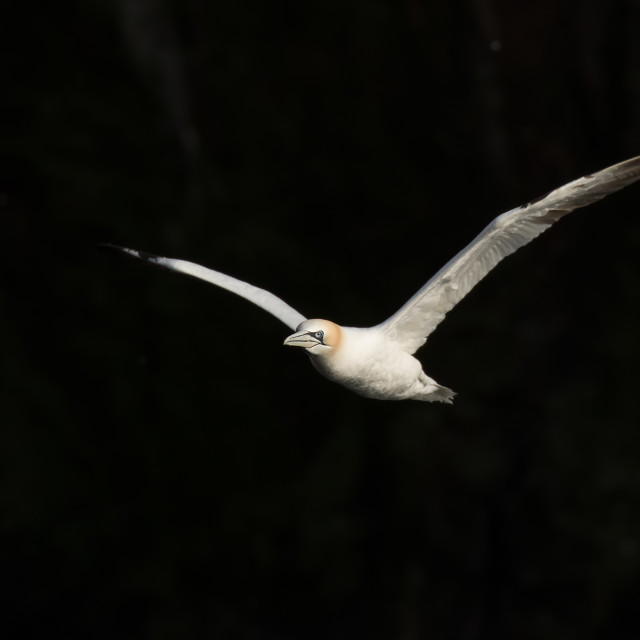 """A Gannet in Flight"" stock image"