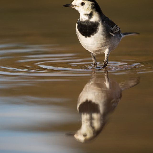 """Pied Wagtail and Reflection"" stock image"