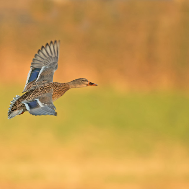 """Mallard in Flight"" stock image"