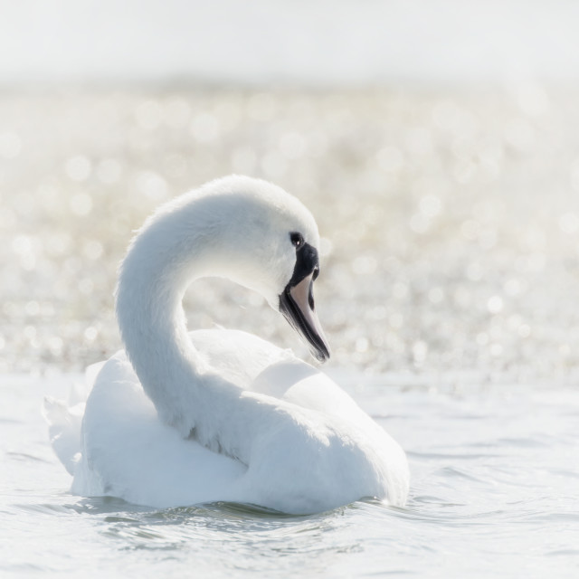 """High Key Swan"" stock image"