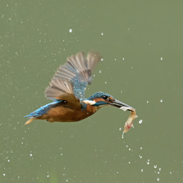 """Kingfisher in Flight with Fish"" stock image"