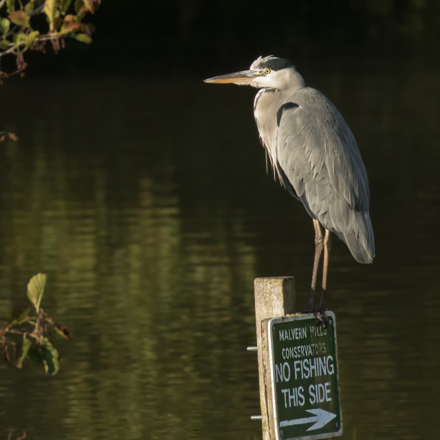 """Grey Heron on No Fishing Sign"" stock image"