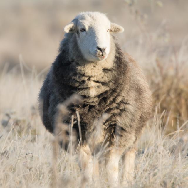 """""""Herdwick Ewe in Frost"""" stock image"""