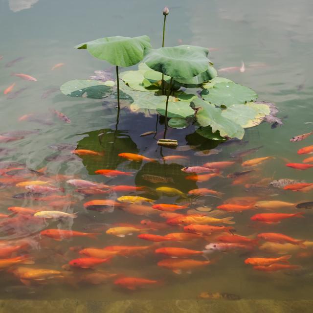 """""""Swimming Group of carps on lotus lake"""" stock image"""