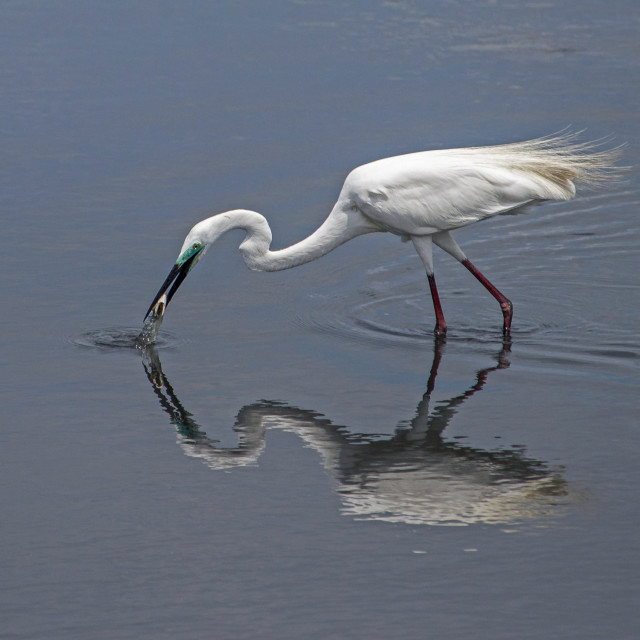 """Great Egret and Reflection"" stock image"