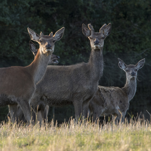 """Three Alert Deer"" stock image"