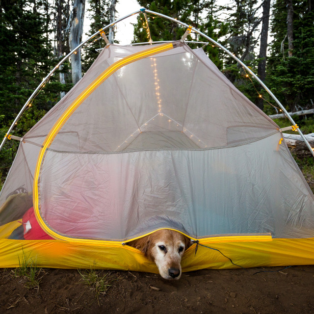 """Dog Camping in Tent"" stock image"