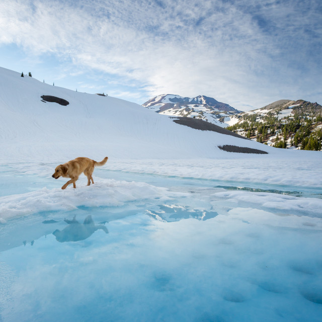 """Dog Reflection on Glacier Water"" stock image"