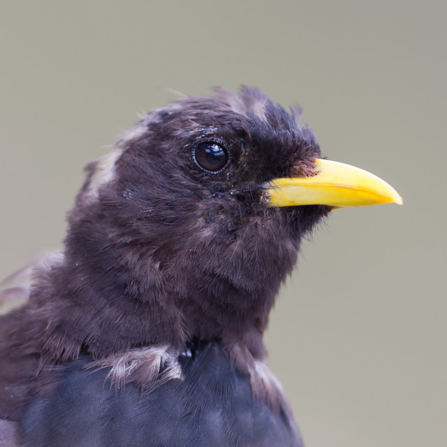 """Alpine Chough (Pyrrhocorax graculus) in the mountains"" stock image"