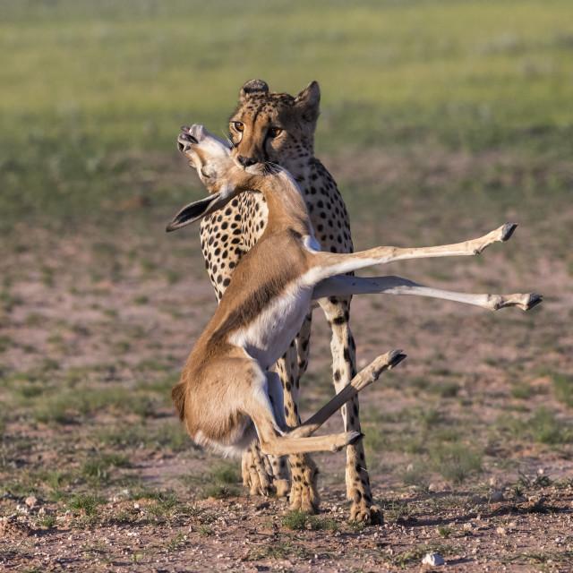 """""""Cheetah (Acinonyx jubatus) with springbok calf kill, Kgalagadi transfrontier..."""" stock image"""