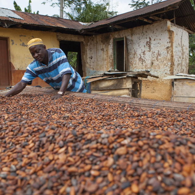 """""""A cocoa farmer spreading cocoa beans out to dry at his farm in Ghana"""" stock image"""