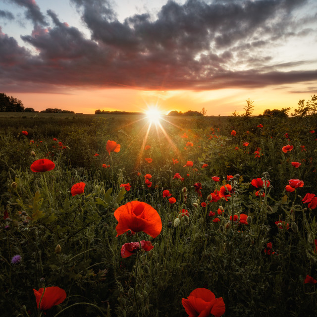 """Poppy field at sunset"" stock image"