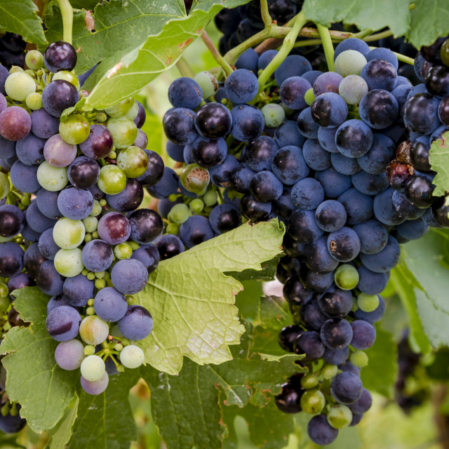 """Wine grapes in veraison stage on vine"" stock image"