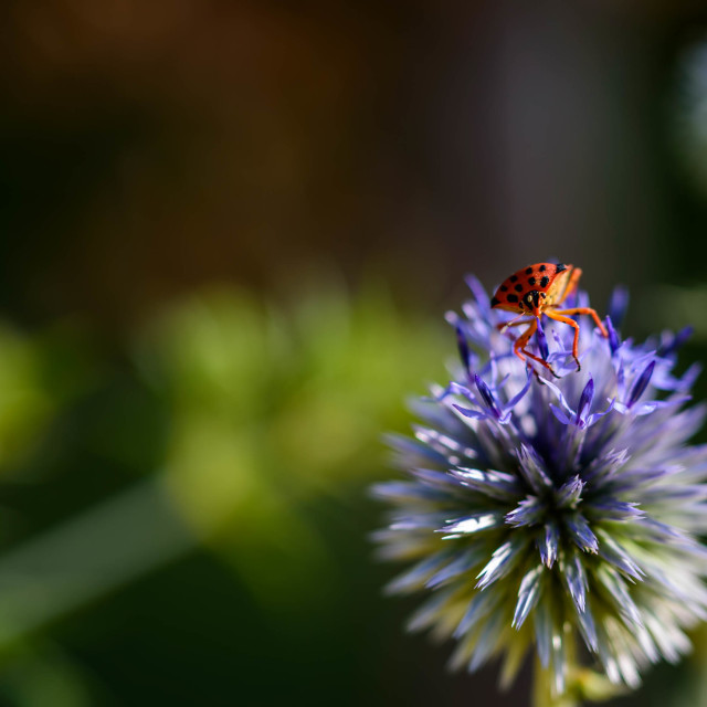 """A fire bug sitting on a blue thistle"" stock image"