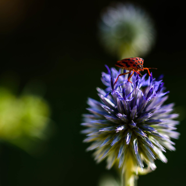 """a fire bug walking on a blue thistle"" stock image"