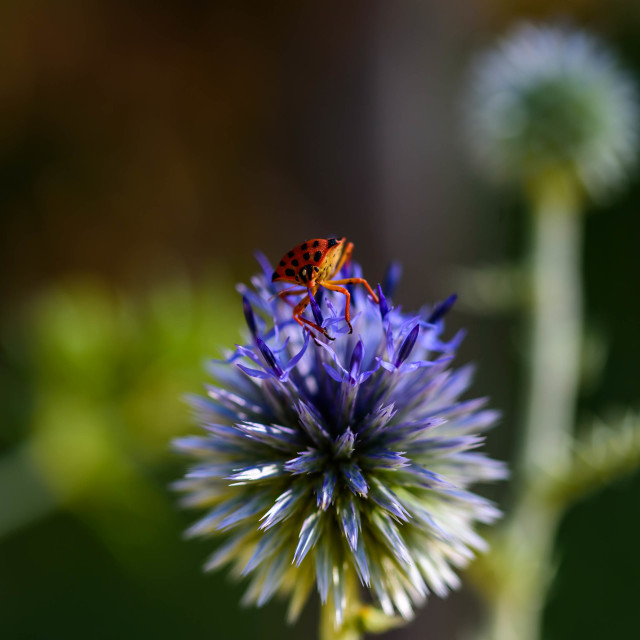 """A fire bug resting on a Blue thistle"" stock image"