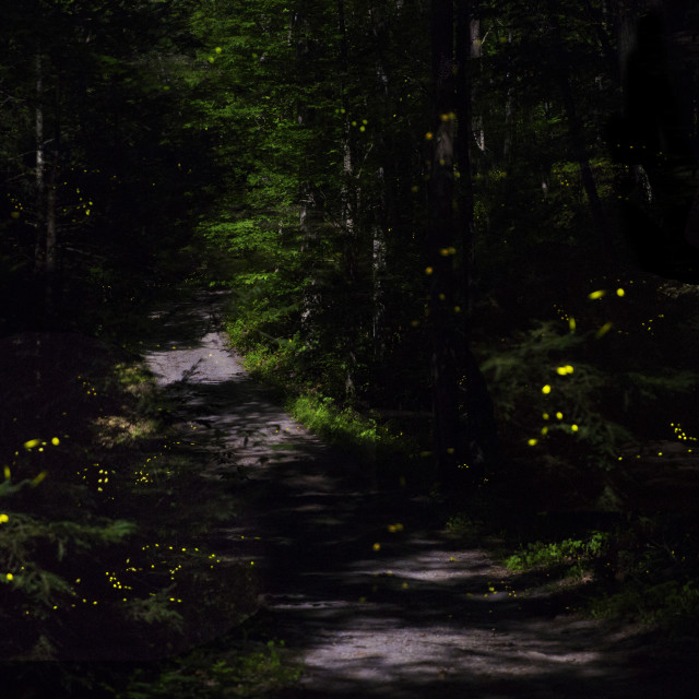 """Fireflies in the Smokies"" stock image"