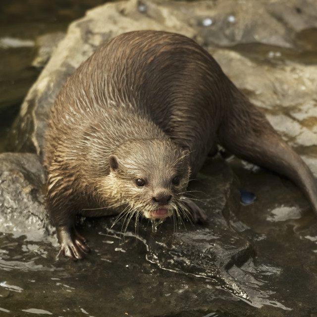 """Wet Otter Sitting On A Rock At The Edge Of The Water"" stock image"