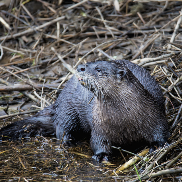 """A North American River Otter (Lontra Canadensis) On The Lookout For Food;..."" stock image"