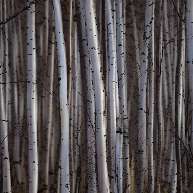"""Forest Of Birch Trees; Alberta, Canada"" stock image"