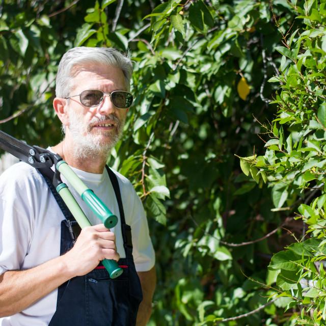 """Gardener trimming hedgerow with gardening scissors"" stock image"
