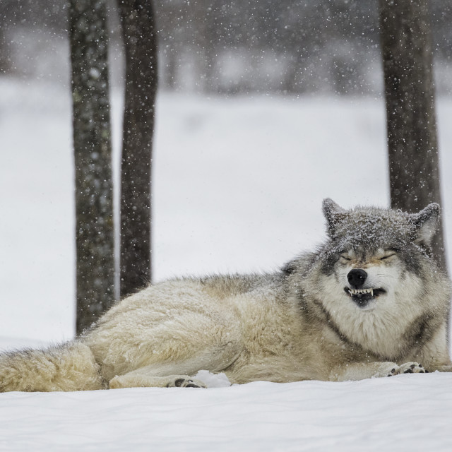 """Grey Wolf (Canis Lupus) Showing Submission Behaviour; Montebello, Quebec, Canada"" stock image"