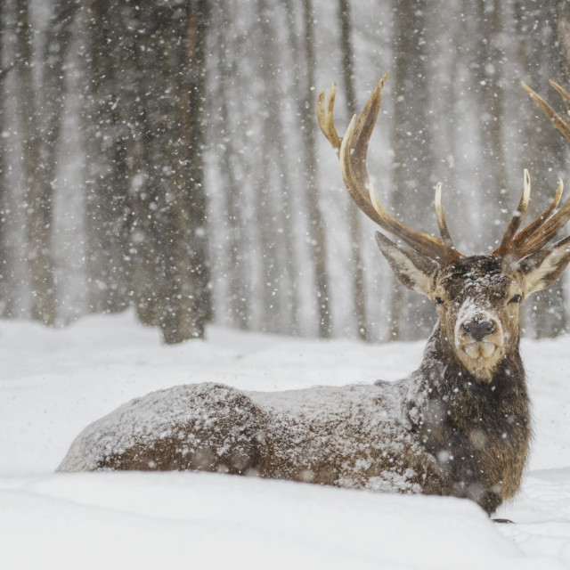 """Wapiti Enjoying The Snow Storm; Montebello, Quebec, Canada"" stock image"