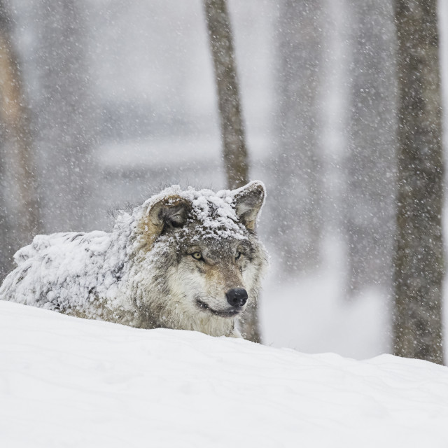 """Grey Wolf (Canis Lupus) During A Snow Storm; Montebello, Quebec, Canada"" stock image"