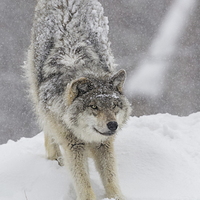 """Grey Wolf (Canis Lupus) Stretching Before Playing In The Snow; Montebello,..."" stock image"