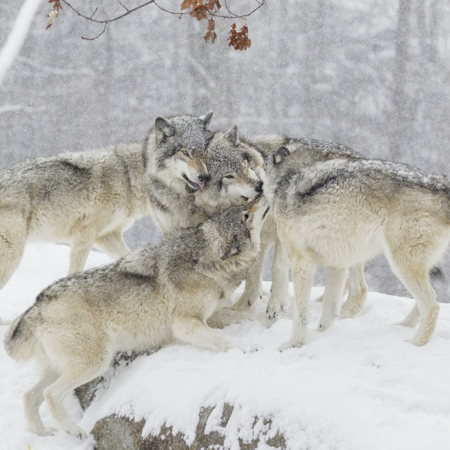 """Wolf Pack (Canis Lupus) Having Some Fun Time Together In The Snow;..."" stock image"