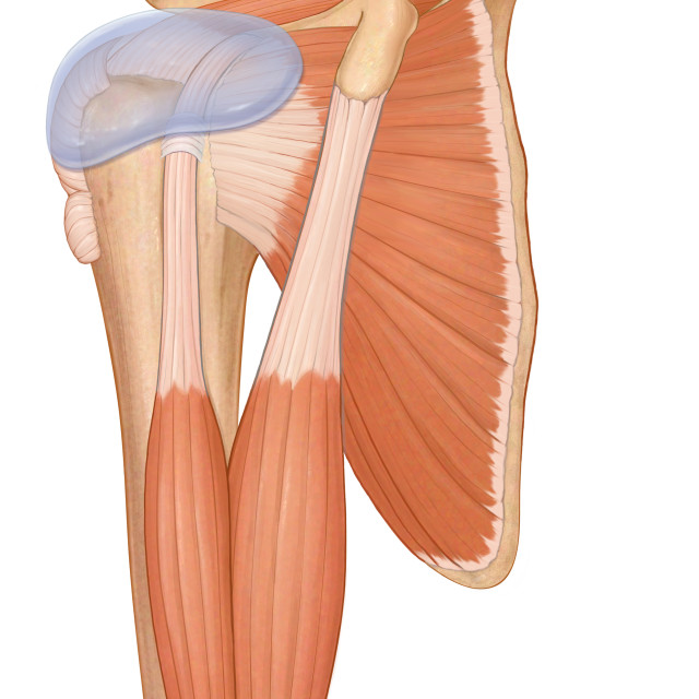 """Three Quarter View Normal Shoulder Joint With Biceps Muscles And Rotator Cuff..."" stock image"