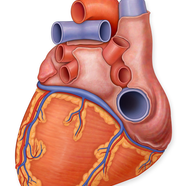 """Posterior View Of A Normal Heart And It's Arteries"" stock image"