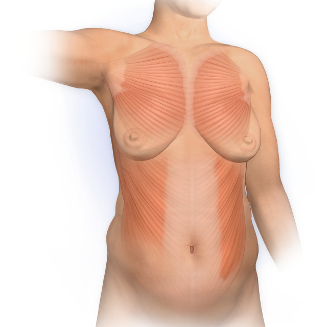 """""""Normal Anterior View Woman With Pectoralis Major, External Oblique Muscles"""" stock image"""