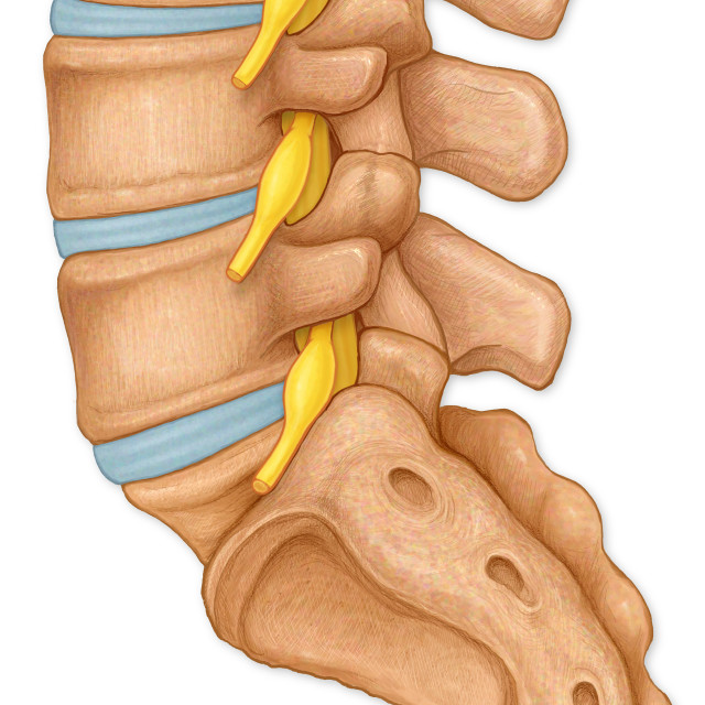 """Normal Lateral View Of The Lumbar Vertebrae Showing Spinal Nerve Roots"" stock image"