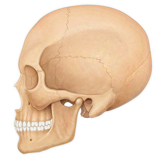"""Normal Lateral View Of An Adult Skull"" stock image"