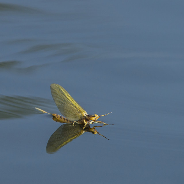"""""""Golden Mayfly (Hexagenia) Lands On The Surface Of The Water; Ontario, Canada"""" stock image"""
