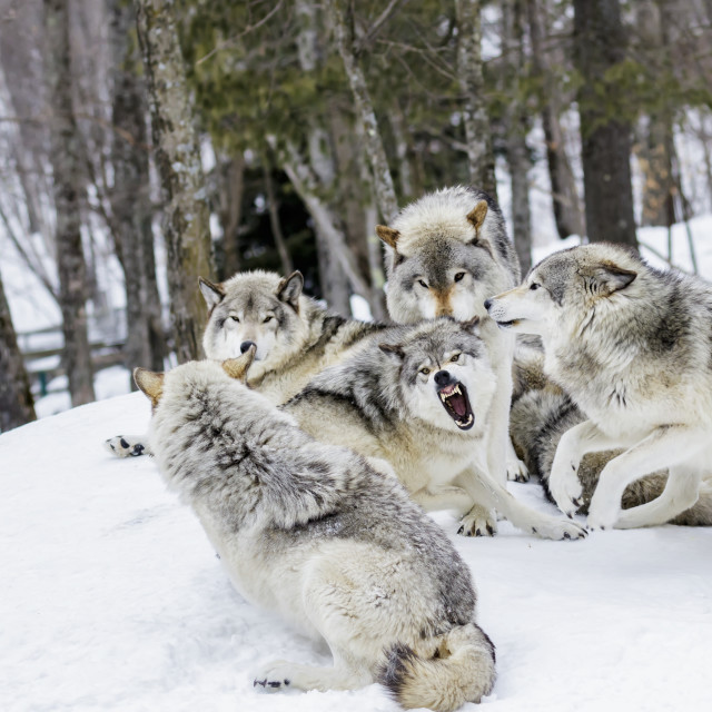 """Grey Wolves (Canis Lupus) Demonstrating Hierarchy; Montebello, Quebec, Canada"" stock image"