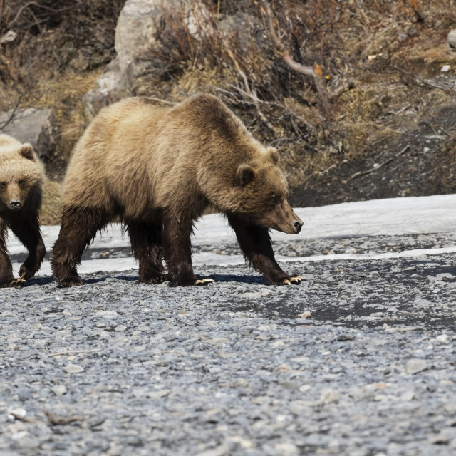 """""""A Brown Bear And Her Cub Walk Next To The Savage River In Denali National..."""" stock image"""